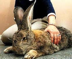 kelinci flamish giant