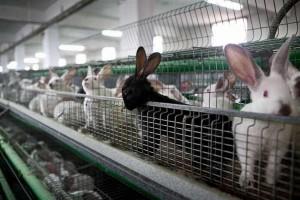 peternakan kelinci pedaging di Eropa