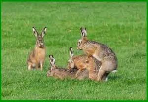 perkawinan kelinci di alam liar