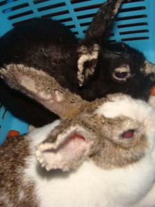 Kelinci yang terkena scabies