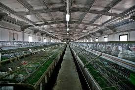 peternakan kelinci modern di Eropa
