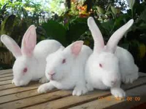 kelinci reza