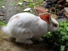 kelinci makan kangkung